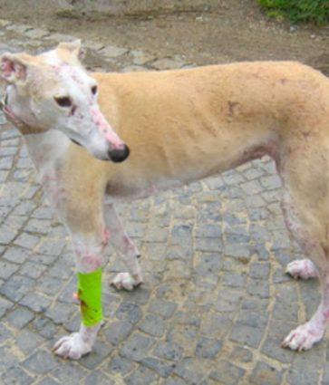 Leishmanioza, infeksioni që përhapet nga qeni i sëmurë