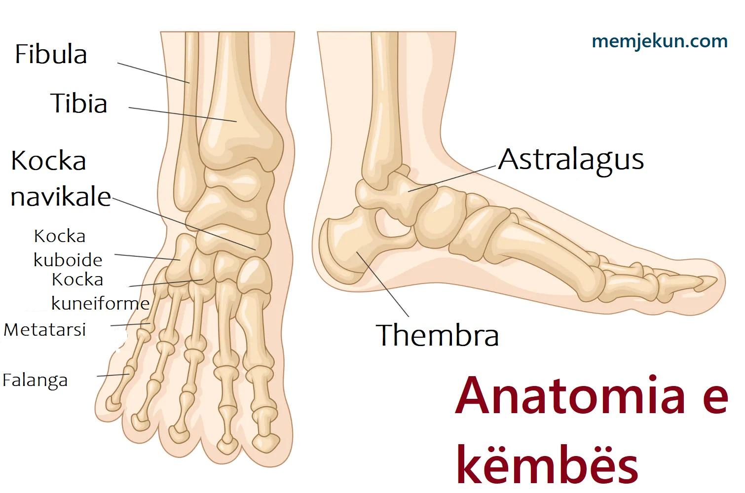 anatomia kembes